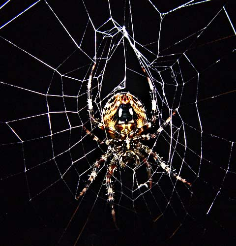 Spider at Night